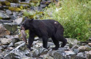 AK- Black Bear