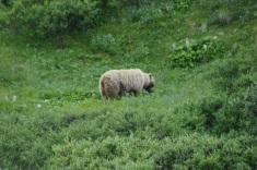 denali-bear