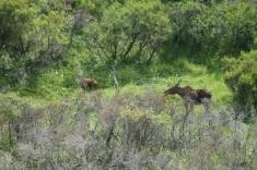 denali-moose